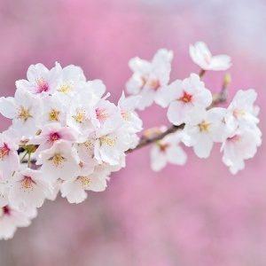 ・「桜餅」  こんな時期だからこそ、少しいつもよりも高級な桜餅を食べても良いかもしれませんね!    桜餅は、冷凍保存もできます!  桜餅は冷凍できる!おいしく食べれる保存方法と解凍の仕方について